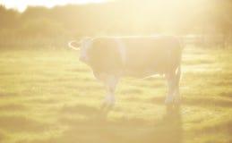 Brun ko i solstråle Arkivbild