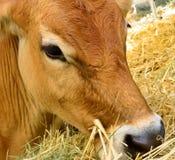Brun ko med blåtiror Arkivbild