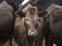 Nyfiken härlig brun ko mellan två tjurar fotografering för bildbyråer