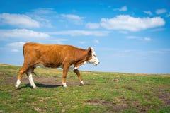 Brun ko på en bakgrund av grönt gräs och blå himmel Royaltyfria Foton