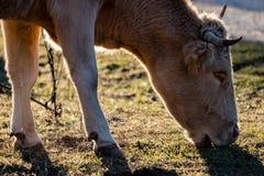 Brun ko som betar på solnedgången royaltyfria bilder