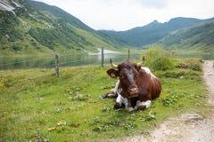 Brun ko som vilar i idylliskt landskap med sjön och berg Royaltyfria Foton