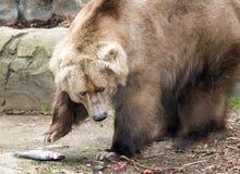 brun kodiak för björn Royaltyfria Bilder