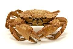 brun krabba Royaltyfria Bilder