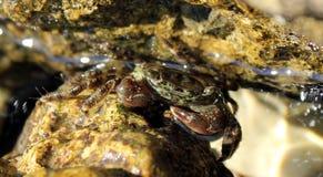 Brun krabba Arkivfoto