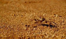 brun krabba Arkivbild