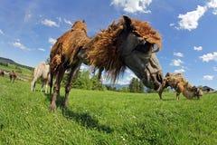 Brun kvinnlig Bactrian kamel med den vita gröngölingen Arkivfoto