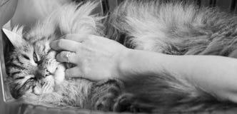 Brun lång haired katt av den siberian aveln, smekning i keltid royaltyfri bild
