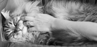 Brun lång haired katt av den siberian aveln, smekning i keltid fotografering för bildbyråer