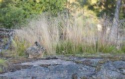 Brun lös kanin i skog i sommar Arkivbild