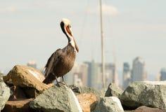Brun lös pelikanfågel San Diego Bay Animal Feathers Arkivbild
