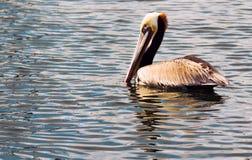 Brun lös pelikanfågel San Diego Bay Animal Feathers Royaltyfria Bilder