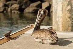 Brun lös pelikanfågel San Diego Marina Animal Feathers Royaltyfri Bild