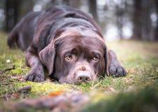Brun labrador retriver med en söt blick på framsidan som lägger ner på gräset i natur arkivfoto