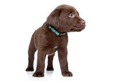 brun labrador valp arkivbilder