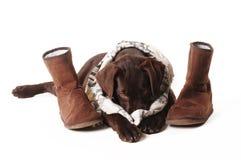 Brun labrador valp som ligger med kängor, och en halsduk som döljer hans nr. Arkivbilder