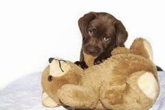 Brun labrador valp som tuggar den bruna nallebjörnen Royaltyfri Bild