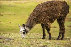 Brun lama som äter gräs Royaltyfria Bilder