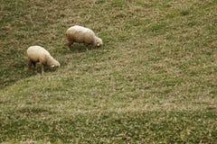 brun lamb Arkivfoton