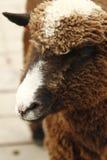 brun lamb Royaltyfria Foton