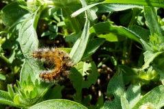 Brun larv mot grön bakgrund Arkivfoto