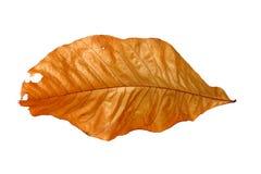 brun leaf Royaltyfria Bilder