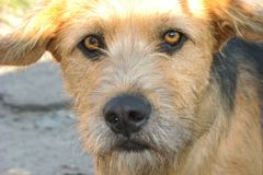 Brun ledsen hund Royaltyfri Bild