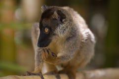 brun lemur Arkivbild