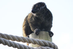 Brun lemur på pol Royaltyfria Foton