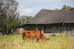 Brun lettisk ko på beta nära träladugården Arkivbilder