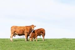 Brun Limousin nötköttko och hennes betande kalv på horisontagaien Royaltyfri Foto