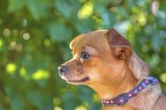 Brun liten hund i natur Fotografering för Bildbyråer