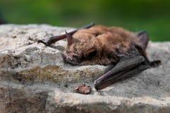 brun liten lucifugusmyotis för slagträ Royaltyfri Fotografi