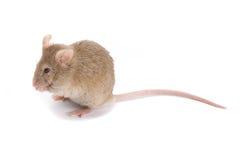 brun liten mus Arkivfoton