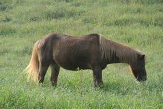 Brun liten ponny i gräsplanen royaltyfria bilder