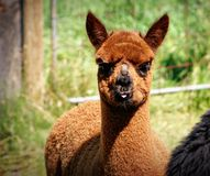 brun llama Arkivfoton