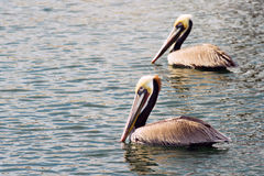 Brun lös pelikanfågel San Diego Bay Animal Feathers Royaltyfri Foto