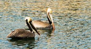 Brun lös pelikanfågel San Diego Bay Animal Feathers Arkivbilder