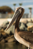 Brun lös pelikanfågel San Diego Marina Animal Feathers Royaltyfri Fotografi