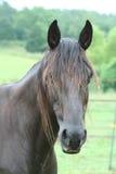 brun mörk häst Royaltyfri Fotografi