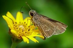 Brun mal som matar på nektar Arkivfoton