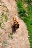 brun male park för björn Royaltyfria Bilder
