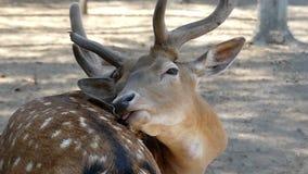 Brun manlig hjort slickar dess hud i slo-mo Det önskar att vara stiligt arkivfilmer