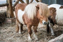 Brun miniatyrhäst med långt hår Arkivfoto