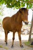 brun mule Royaltyfri Foto
