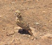Brun mycket liten fågel som kamouflerar med omge fotografering för bildbyråer