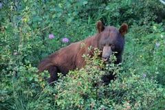 brun nationalparkwaterton för björn Arkivbilder