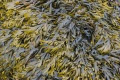 Brun och grön havsväxt Arkivfoto