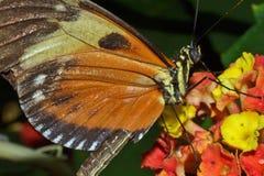 Brun och orange fjäril som matar på blommor Arkivbild