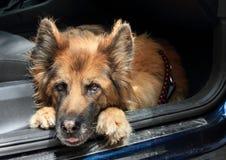 Brun och svart hund - tysk herde i bil fotografering för bildbyråer